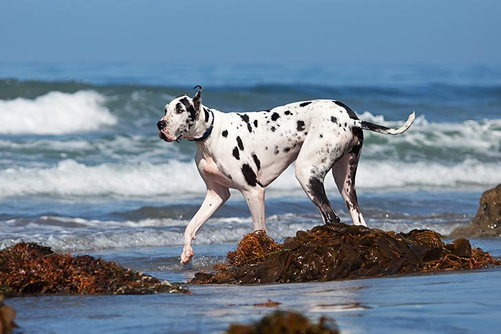 Breed of the Month–Great Dane