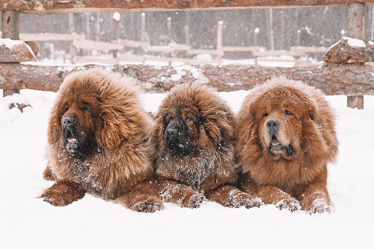 Breed of the Month–Tibetan Mastiff
