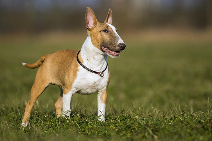 Breed of the Month–Miniature Bull Terrier