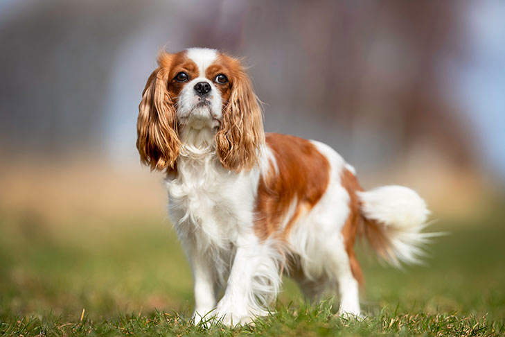 Breed of the Month–Cavalier King Charles Spaniel