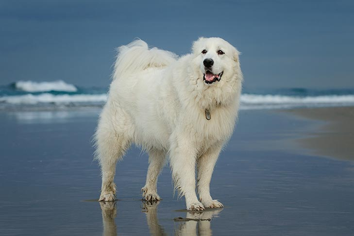 Breed of the Month–Great Pyrenees