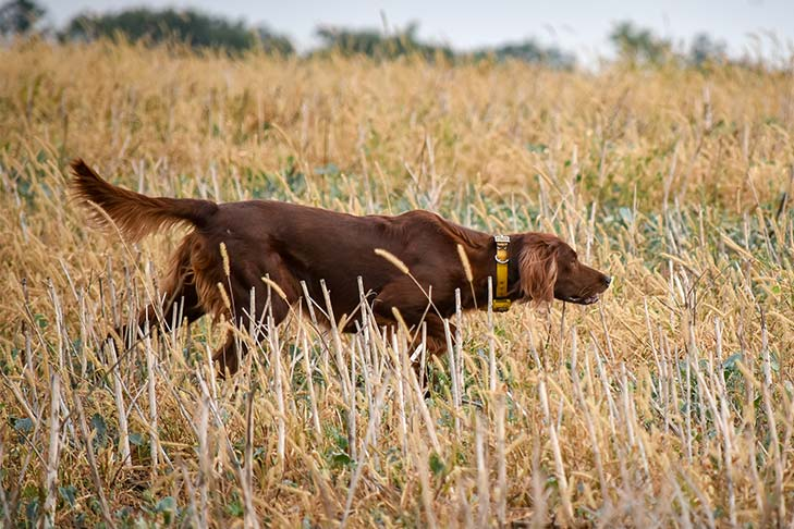 Breed of the Month–Irish Setter