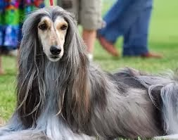 Breed of the Month–Afghan Hound